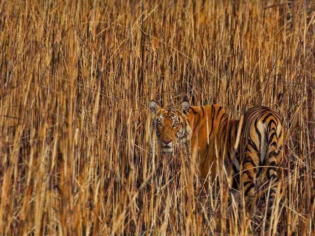 Tiger camouflaged in tall grass, Assam, India (© Sandesh Kadur/Minden Pictures)