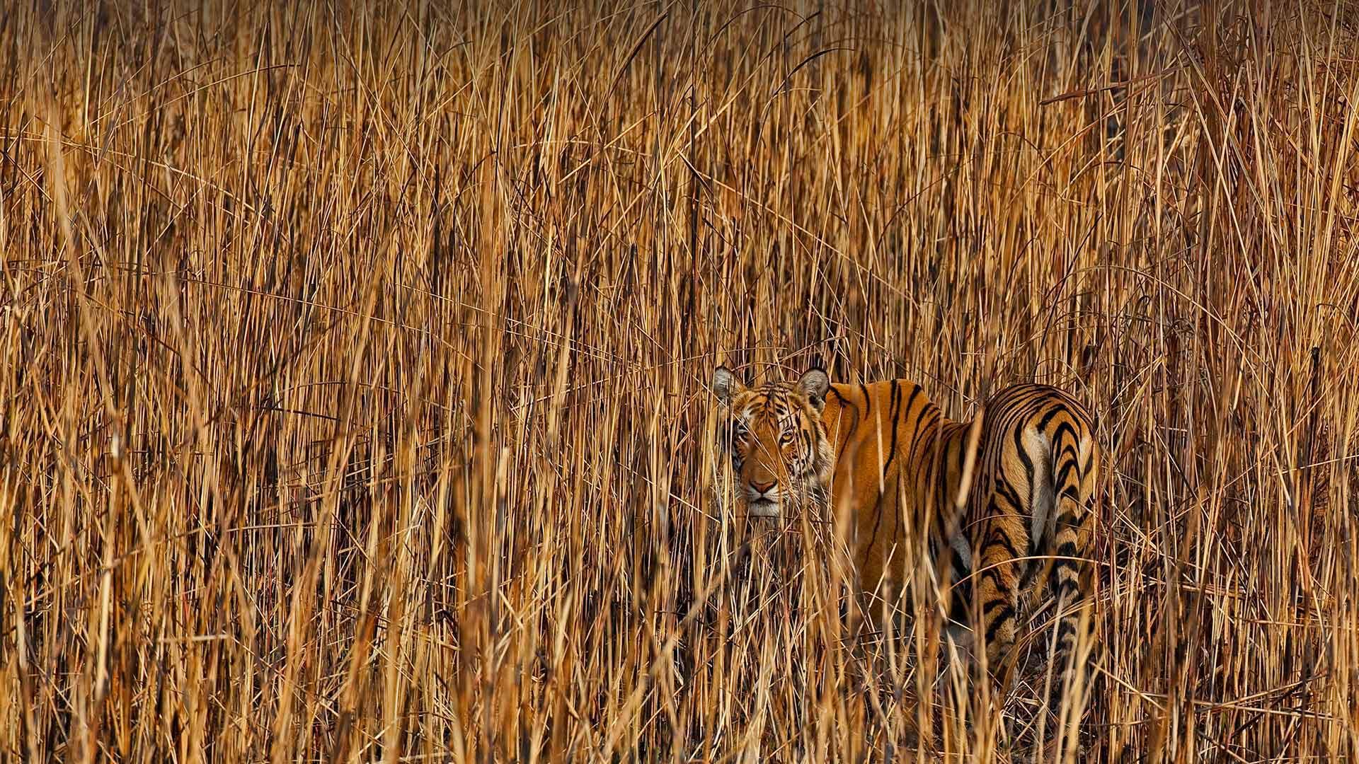「草の間に潜むトラ」インド, アッサム州 (© Sandesh Kadur/Minden Pictures)
