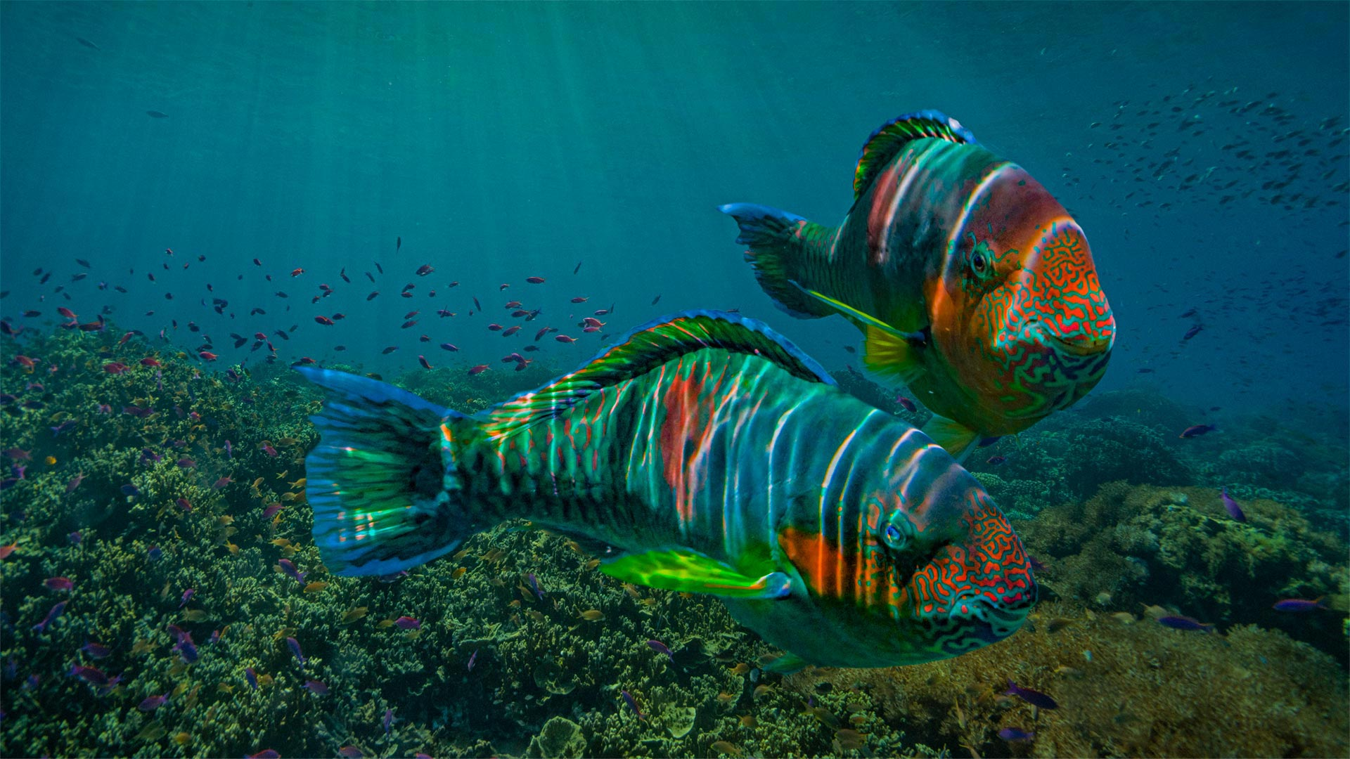 Parrotfish off the coast of Negros Oriental province in the Philippines (© Tim Fitzharris/Minden Pictures)(Bing United States)