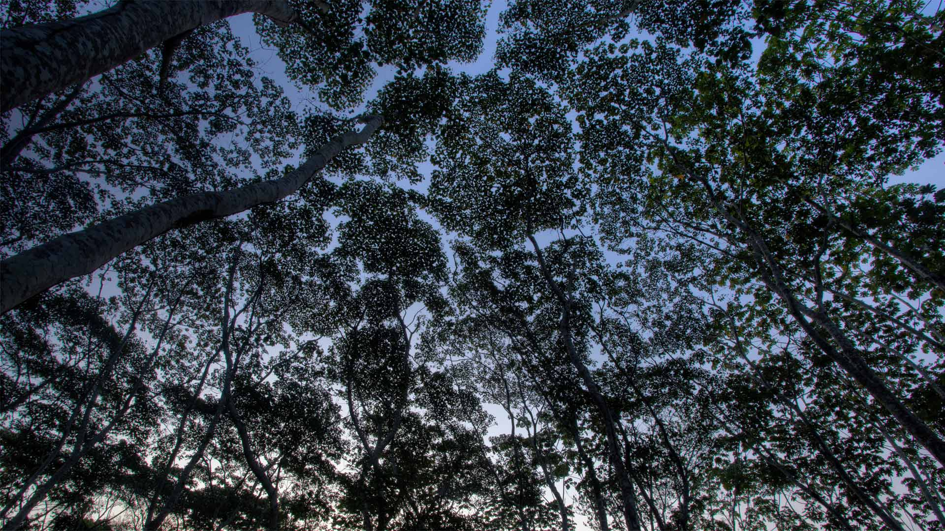 The tree canopy in the Tambopata National Reserve of the Peruvian Amazon (© Patrick Brandenburg/Tandem Stills + Motion)(Bing United States)