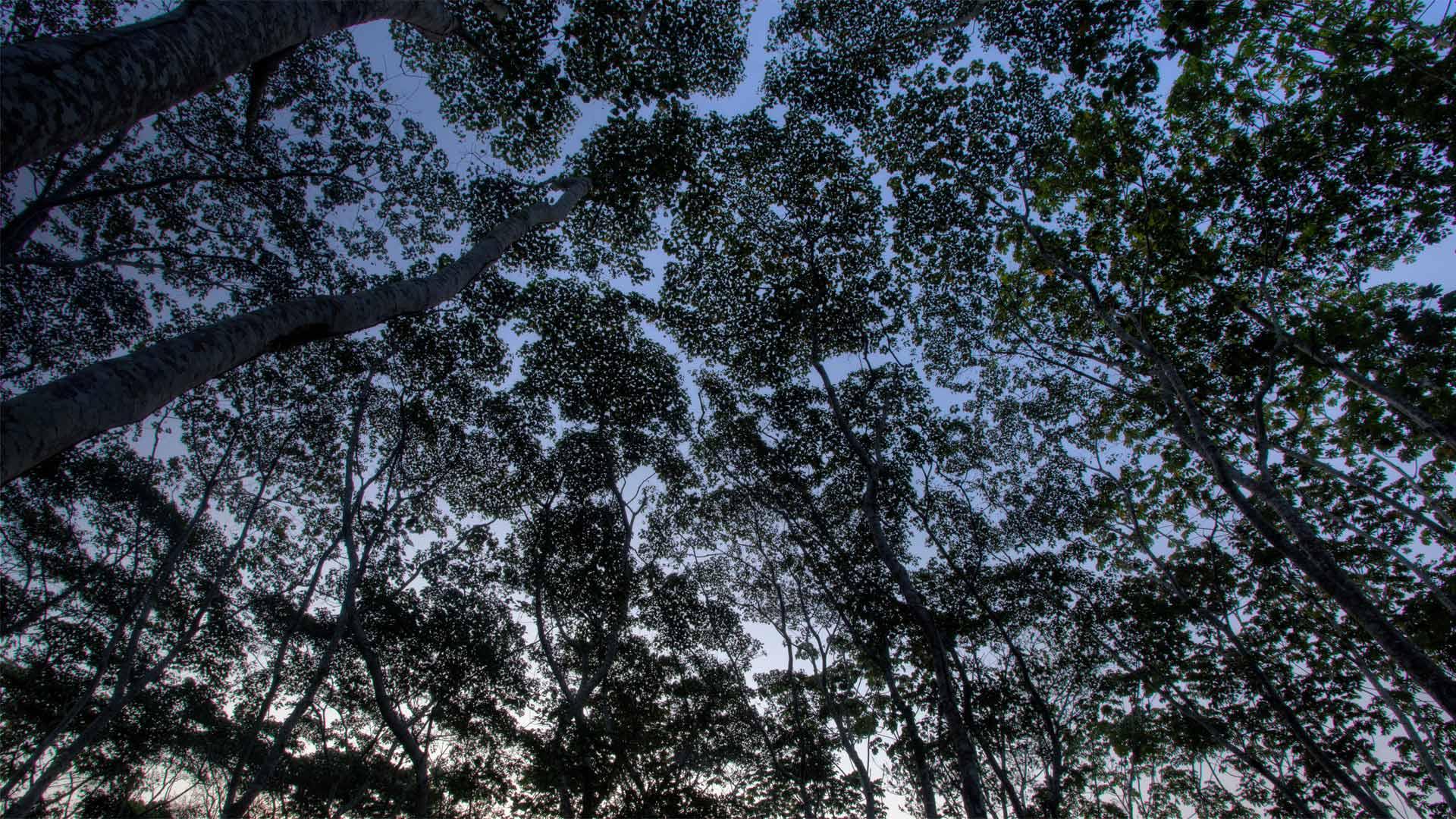 Les arbres de la Réserve nationale de Tambopata en Amazonie Péruvienne (© Patrick Brandenburg/Tandem Stills + Motion)