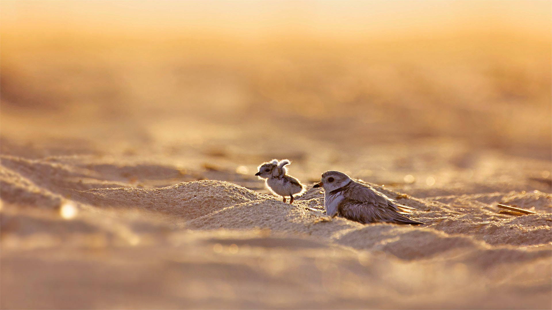 Piping plover and its chick on Jones Beach Island, New York (© Vicki Jauron/Getty Images)(Bing United States)