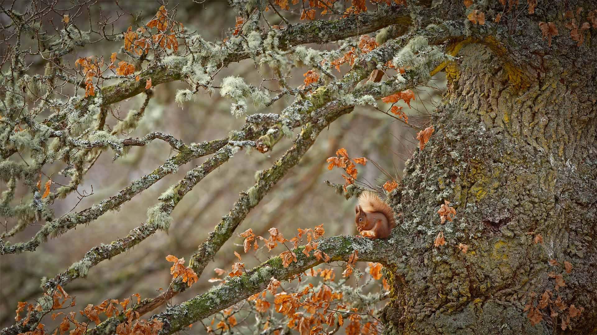 苏格兰高地上的欧亚红松鼠,苏格兰 (© Scotland: The Big Picture/Minden Pictures) - Calf Blog