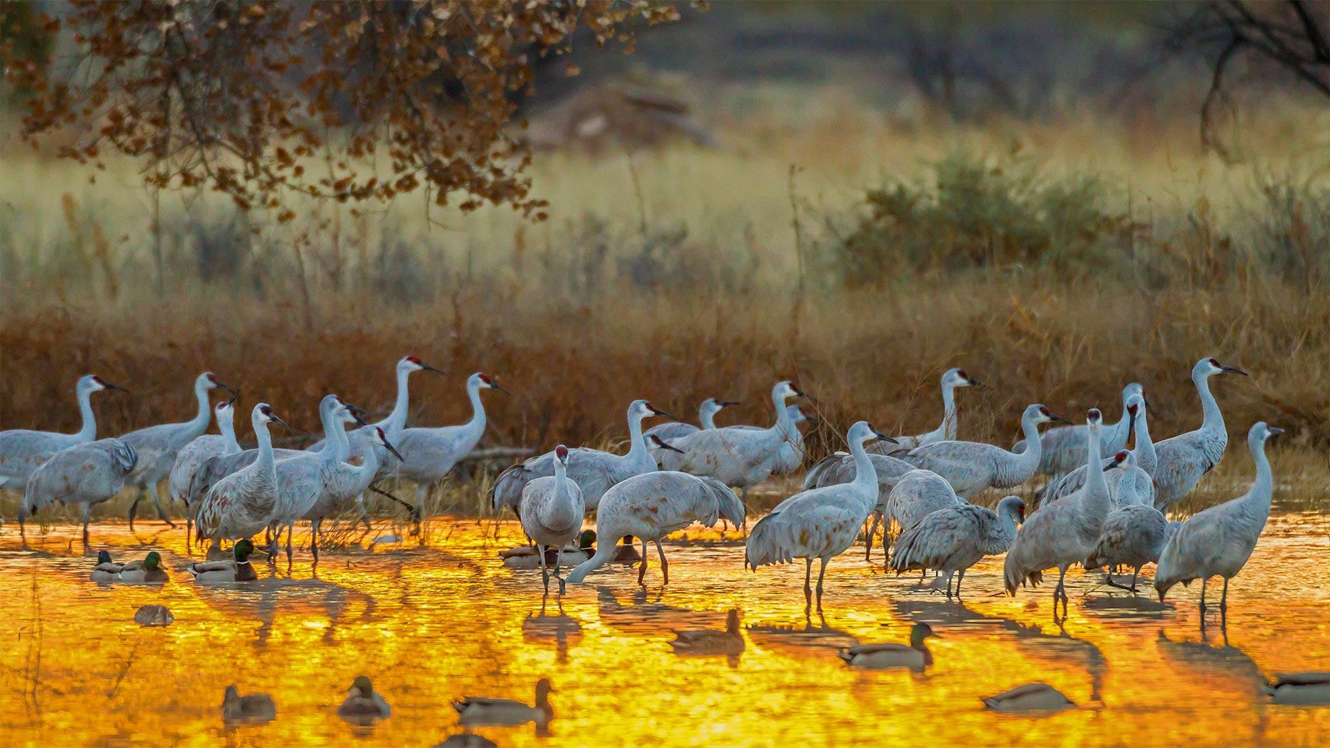 Sandhill cranes and mallard ducks, Bosque del Apache National Wildlife Refuge, New Mexico (© Cathy & Gordon Illg/Jaynes Gallery/DanitaDelimont.com)(Bing United States)