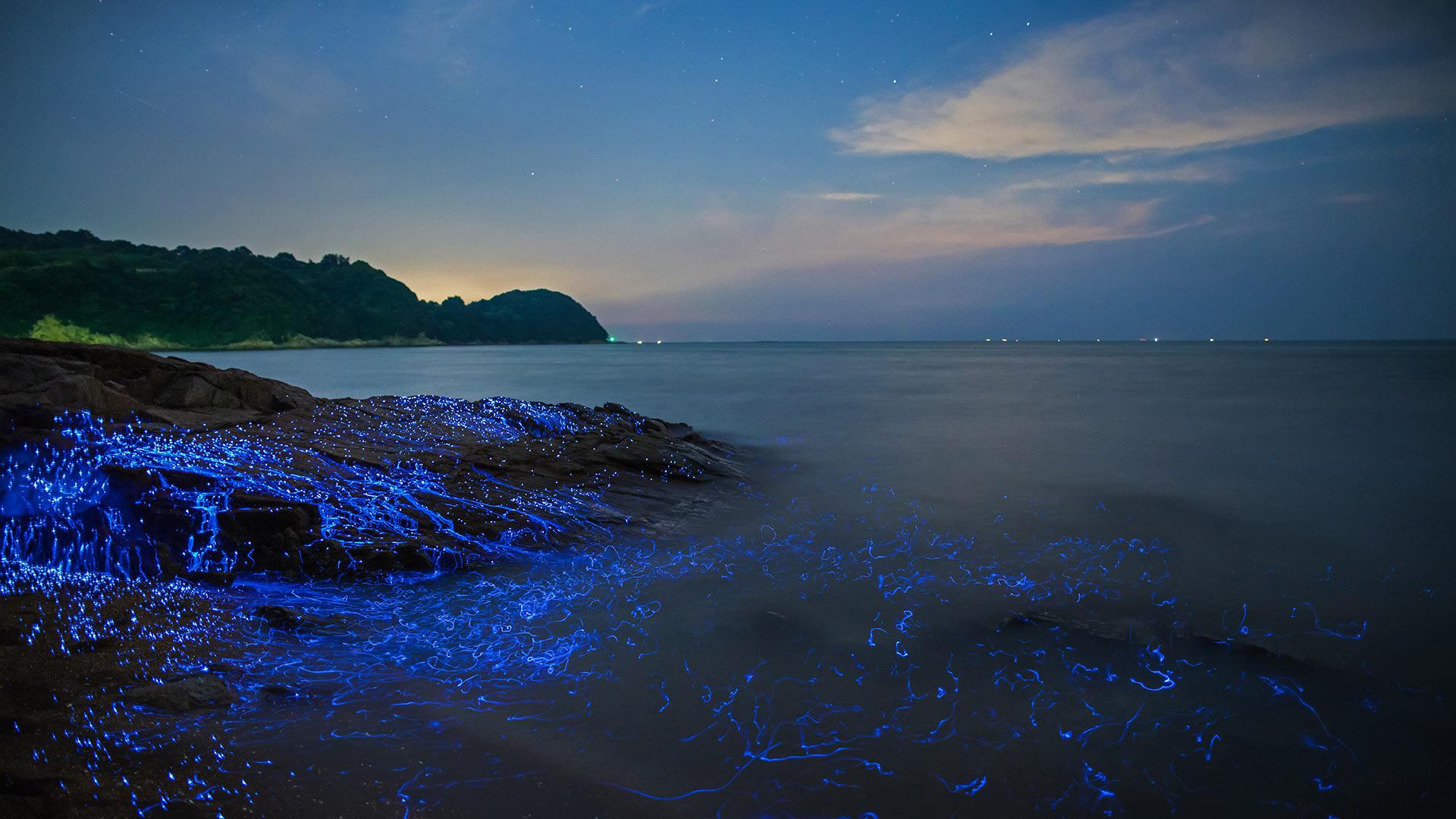 冈山沿岸的发光海洋萤火虫,日本 (© tdub_video/Getty Images) - Calf Blog