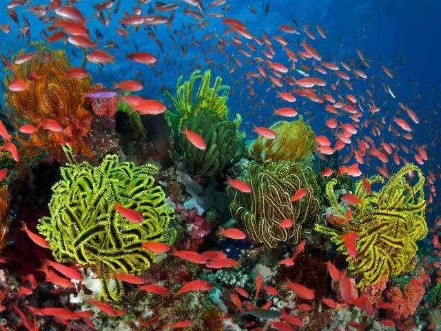 School of sea goldies with feather stars, Great Barrier Reef, Queensland, Australia (© Gary Bell/Minden Pictures)