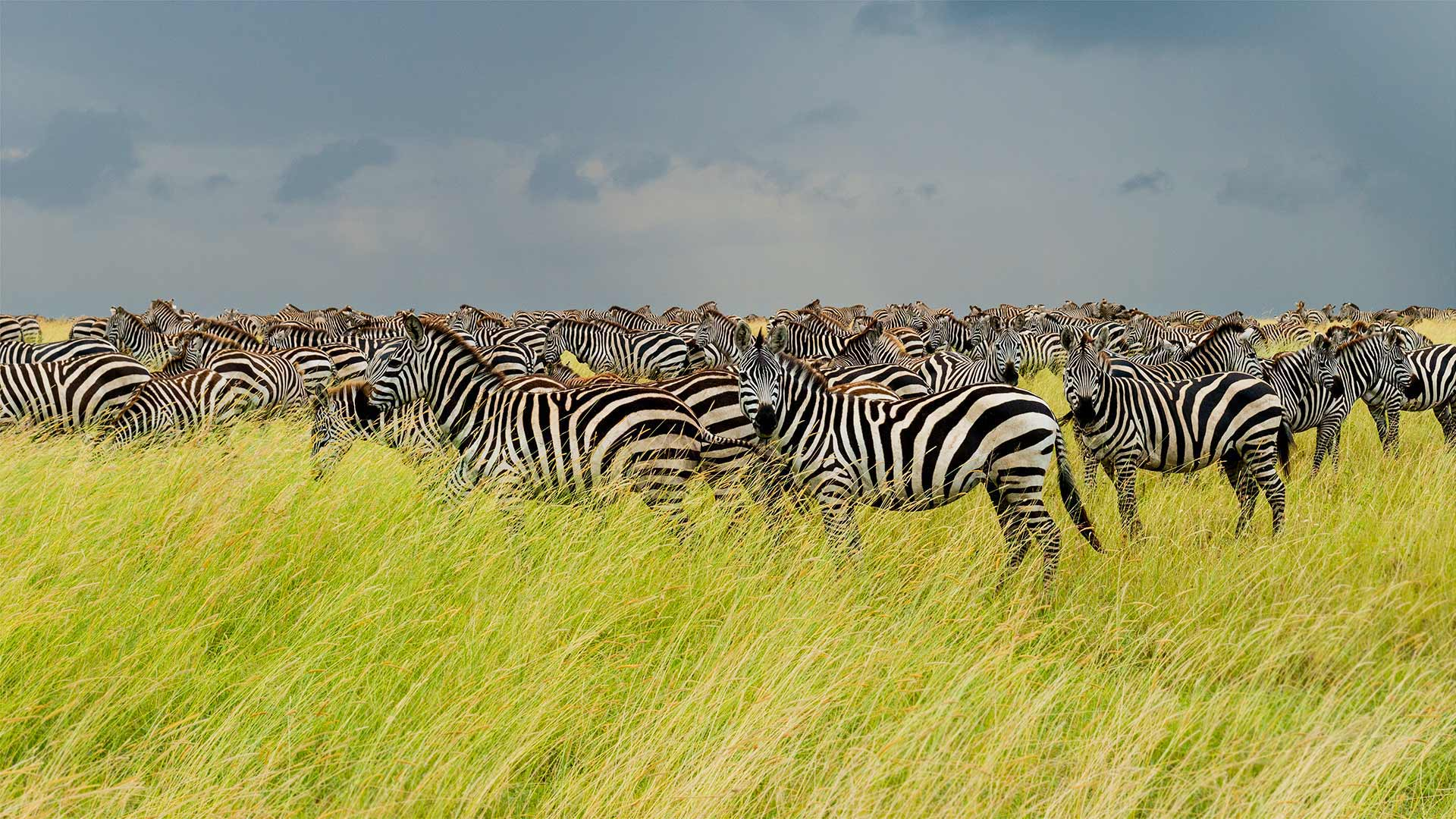 Zebras in Serengeti National Park, Tanzania (© pchoui/Getty Images)(Bing United States)