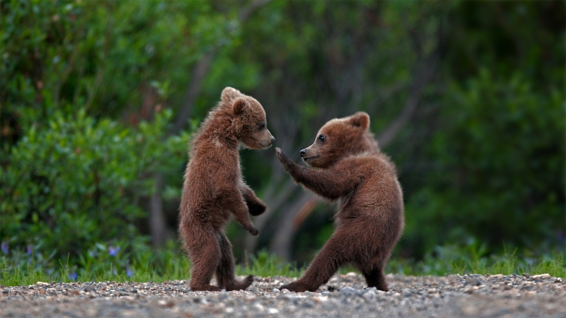 Grizzly bear cub siblings playing in Denali National Park and Preserve, Alaska (© Ron Niebrugge/Alamy)(Bing United States)