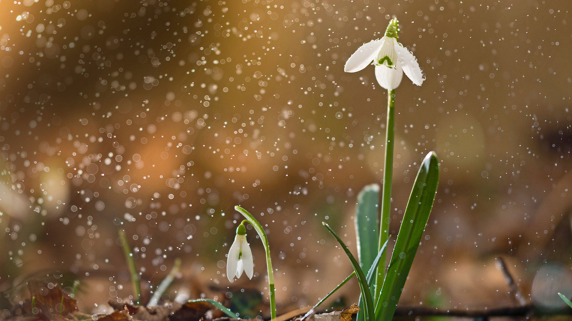 A snowdrop in bloom (© Péter Hegedűs/Getty Images)(Bing United States)