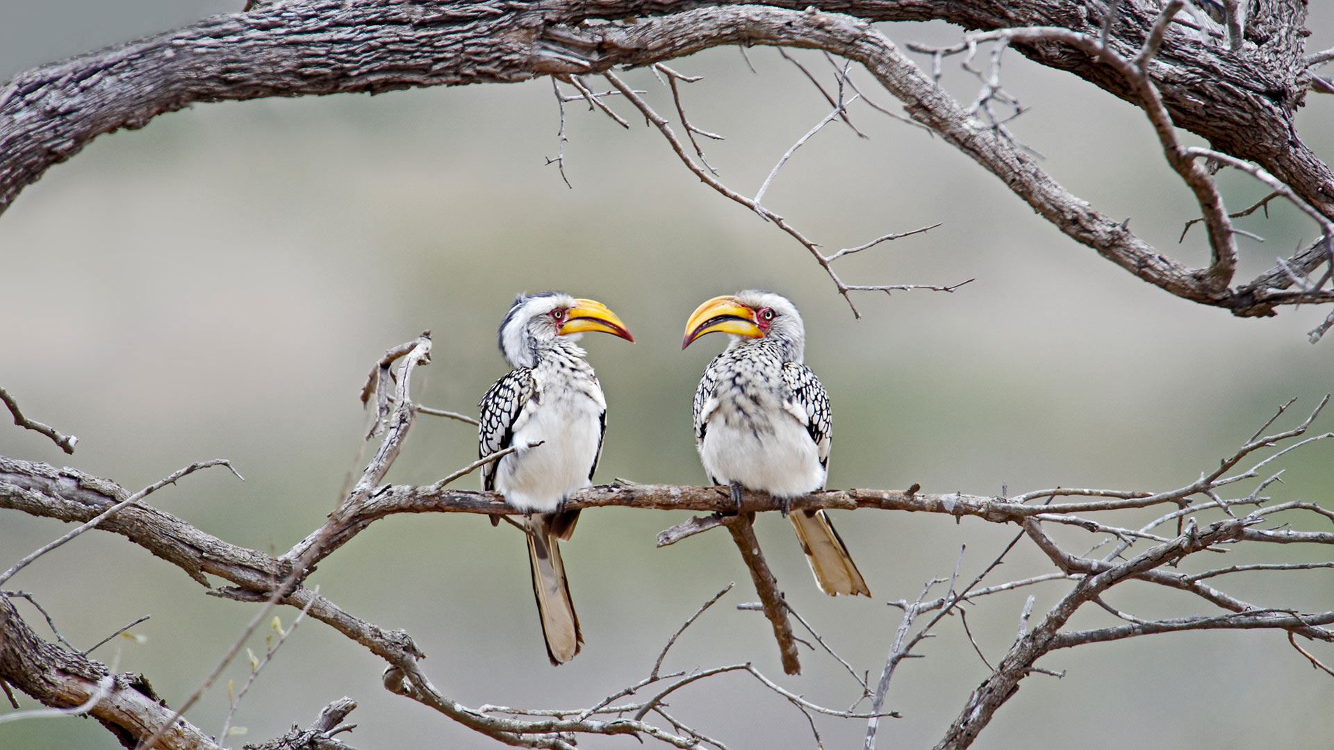 Southern yellow-billed hornbills in Kruger National Park, South Africa (© Ben Cranke/Getty Image)(Bing United States)