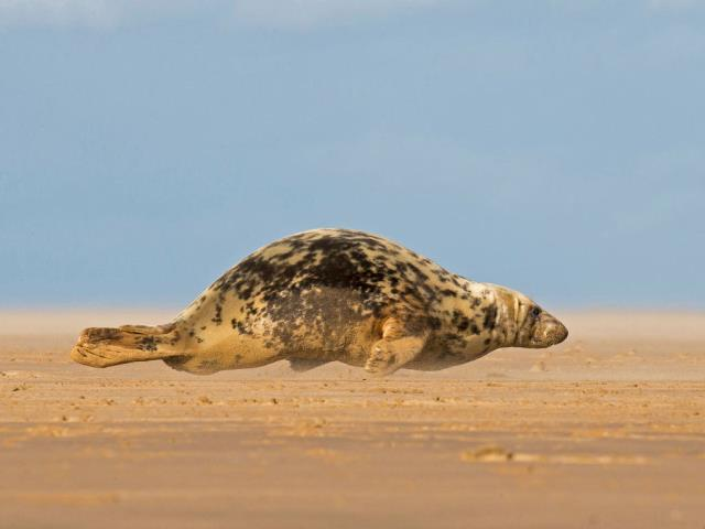 Grey seal hitching itself over the beach at Donna Nook, North Lincolnshire, England (© Frederic Desmette/Minden Pictures)
