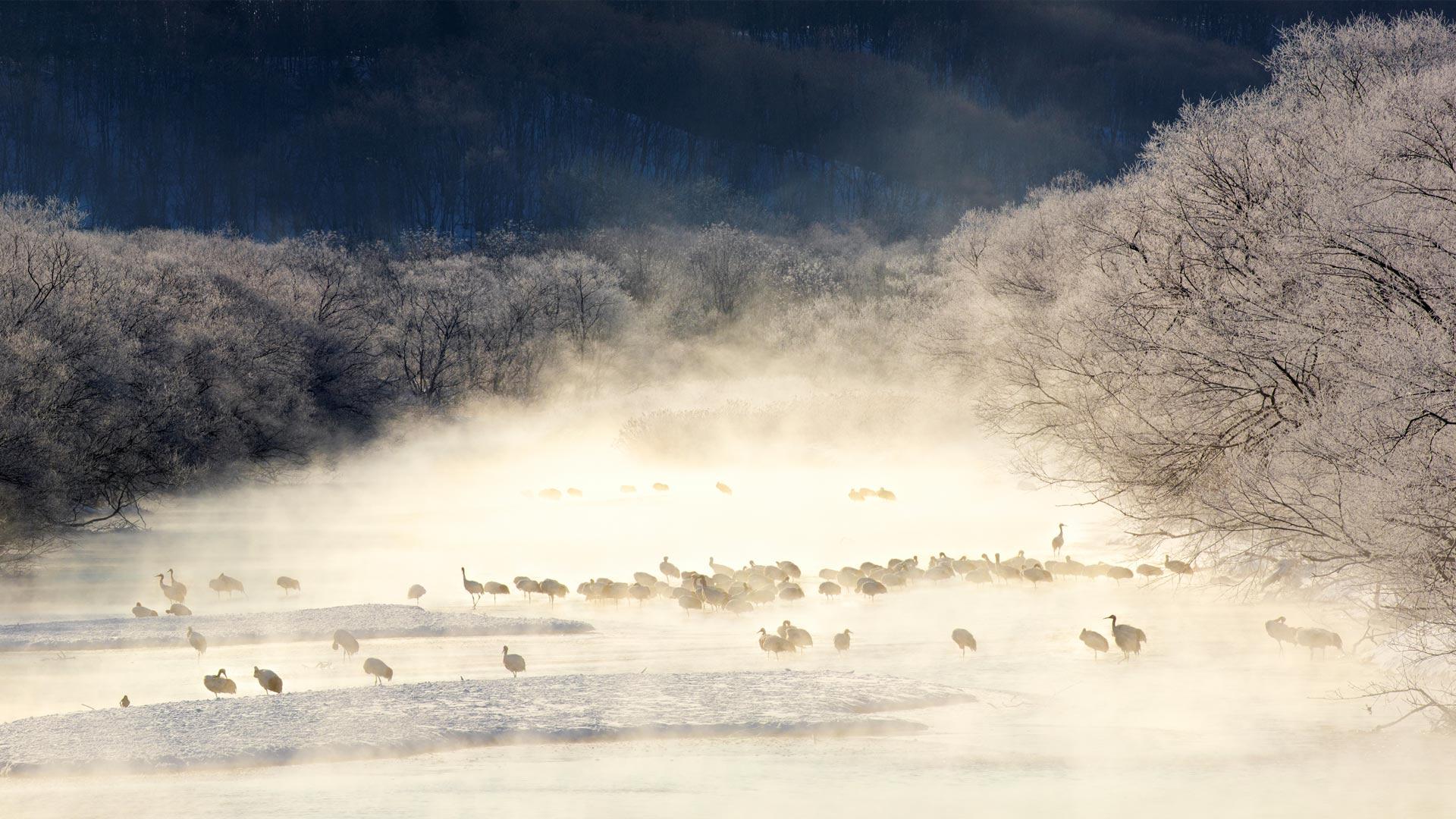 「けあらしの中のタンチョウ」北海道, 雪裡川 (© Paul & Paveena Mckenzie/Gettyimages)