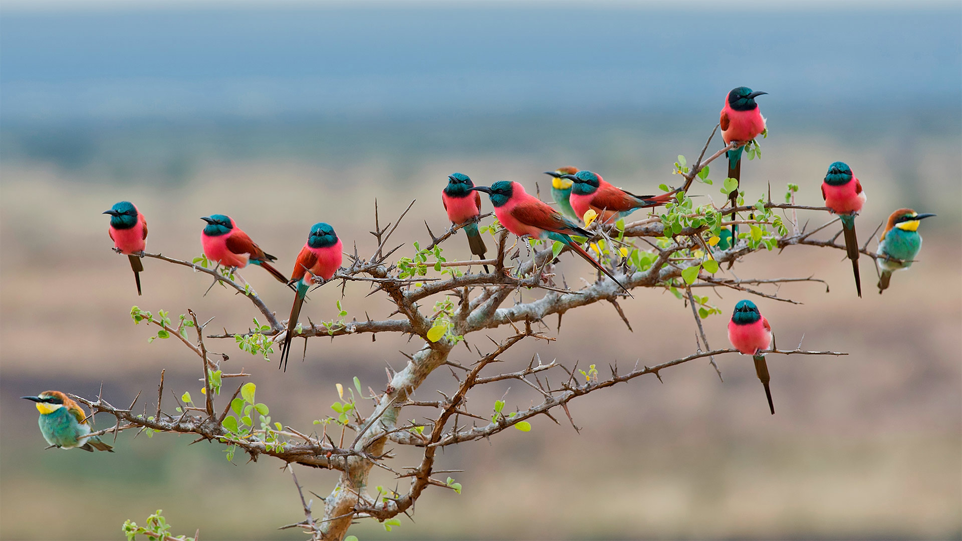 Northern carmine and European bee-eaters in Mkomazi National Park, Tanzania (© webguzs/Getty Images)(Bing United States)