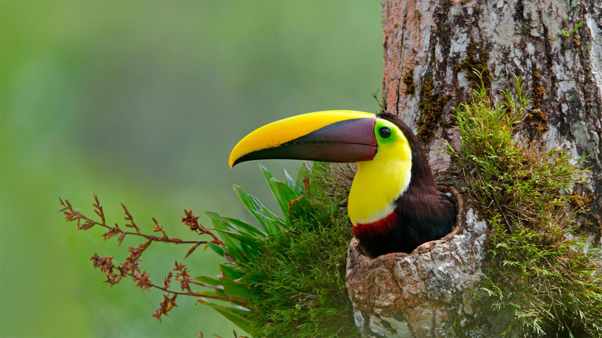 Chestnut-mandibled toucan nesting in the cavity of a tree, Costa Rica (© Greg Basco/Minden Pictures)(Bing United States)