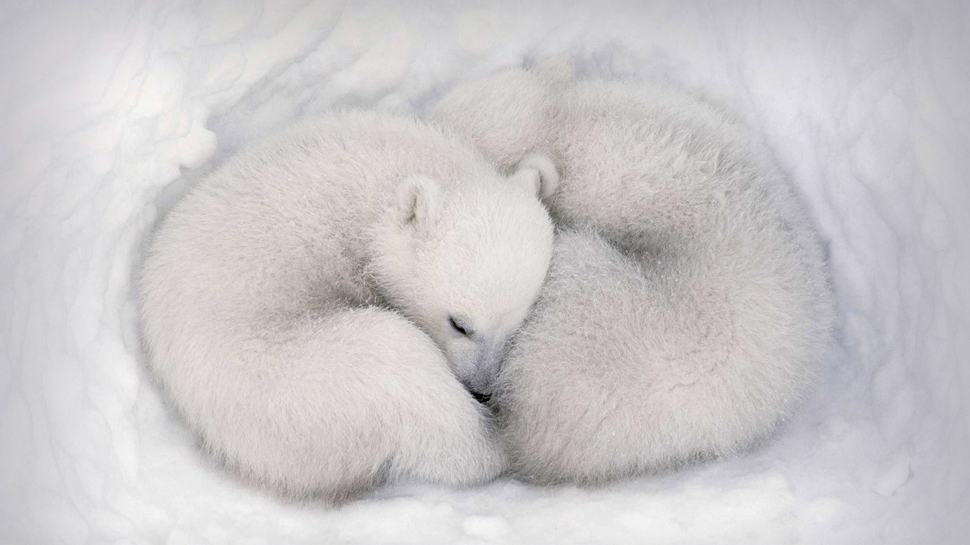Twin polar bear cubs asleep in a snow den in Wapusk National Park, Manitoba, Canada (© AF archive/Alamy)(Bing United States)