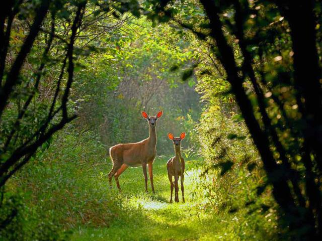 White-tailed doe and fawn in Wisconsin (© Karel Bock/Shutterstock)