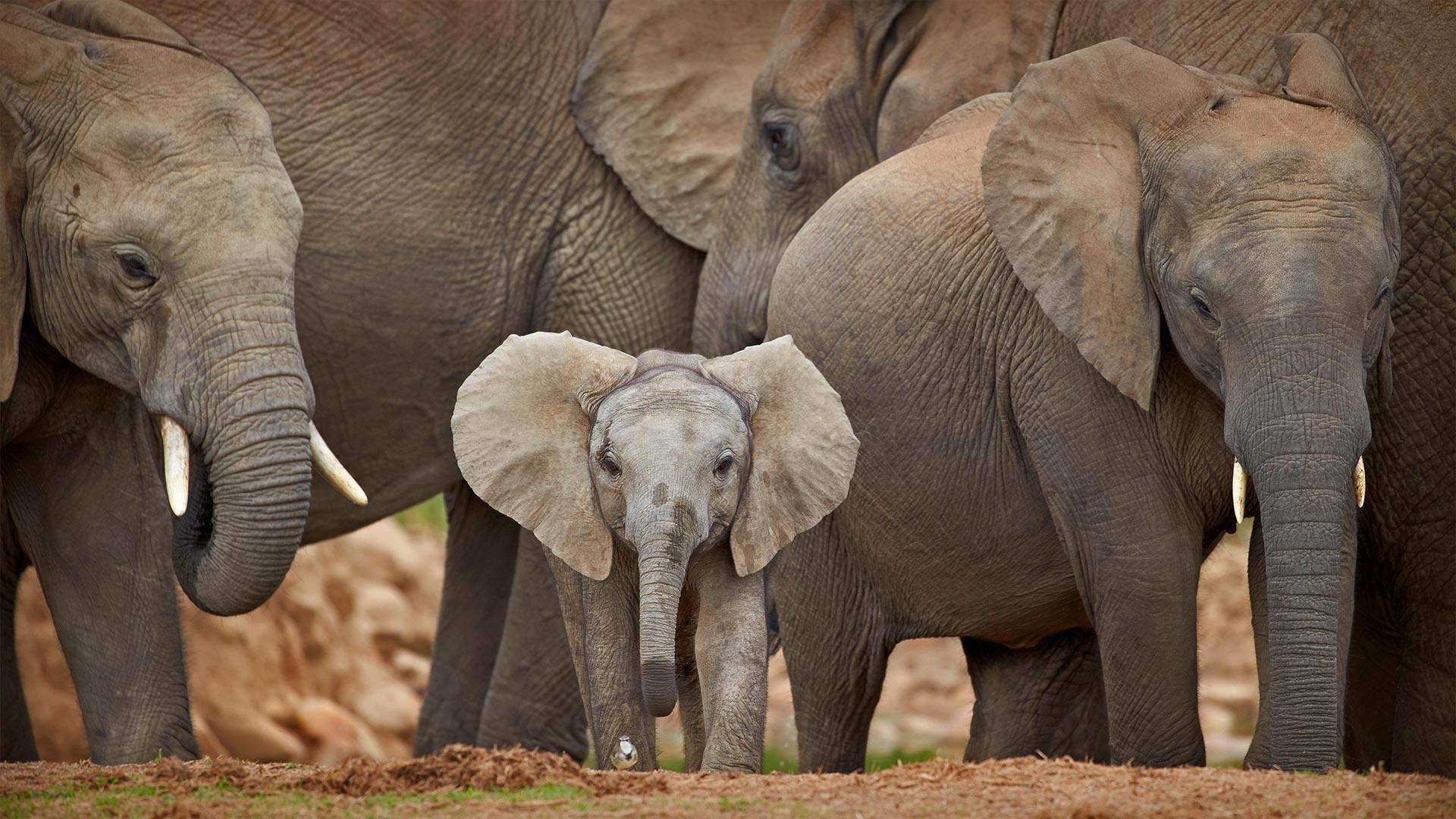 「アフリカゾウの家族」南アフリカ, アドゥ・エレファント国立公園 (© Robert Harding/Alamy)