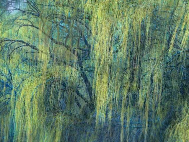 Willow tree in early spring, Minnesota (© Jim Brandenburg/Minden Pictures)