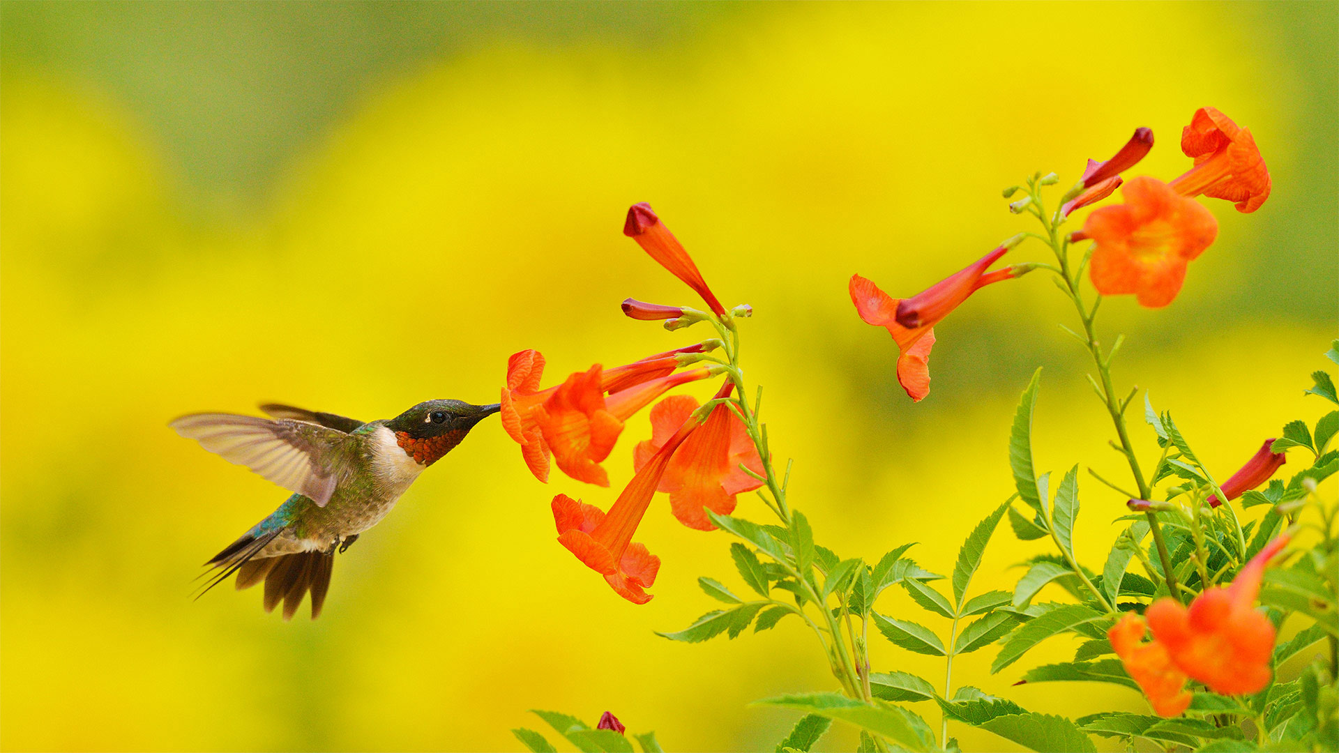 Ruby-throated hummingbird feeding on yellow bells in the Texas Hill Country (© Rolf Nussbaumer/Danita Delimont)(Bing United States)