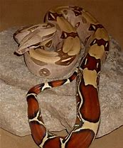 Image result for suriname red tail boa