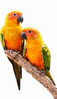 Image result for conures
