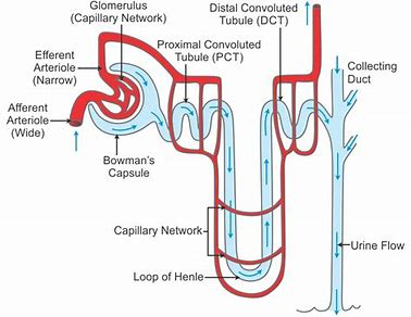 Image result for structure of nephron