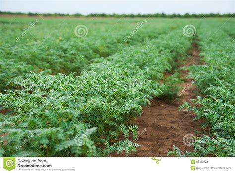 Resultado de imagen de imagenes de la cosecha de garbanzo