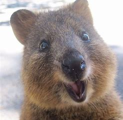 Image result for Good Morning Quokka