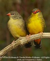 Image result for gold breasted finch