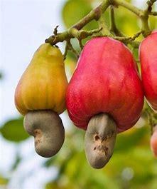 Cashew Nut Fruit