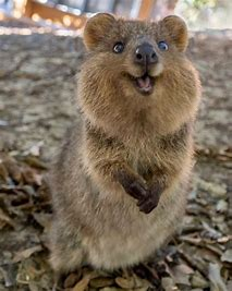 Image result for images of happy quokka
