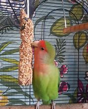 Image result for adult love bird