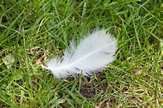 Image result for Free Images of White Feathers. Size: 158 x 105. Source: www.publicdomainpictures.net