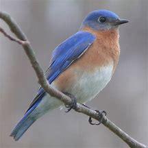 Image result for blue bird