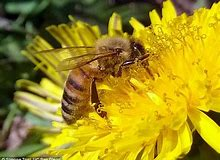 Agriculture Department Suspends Critical Tracking Of Plunging Honey Bee Population