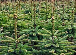 Afbeeldingsresultaten voor kerstbomen