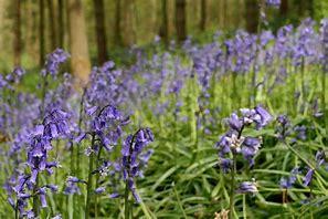 Image result for bluebells