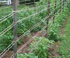 Image result for Staking Tomatoes Plants