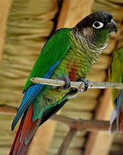 Image result for Green Cheek Conure