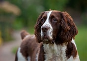 Image result for English Spaniel. Size: 158 x 110. Source: www.dog-learn.com