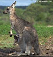 Résultat d'images pour kangourous