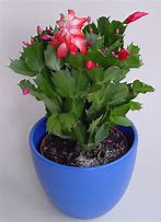 Image result for christmas cactus