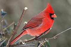 Image result for Free Images Of Cardinal birds. Size: 158 x 105. Source: wallpapercave.com