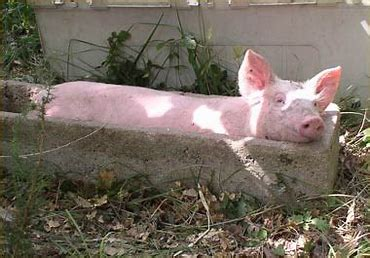 Image result for pig troughing images