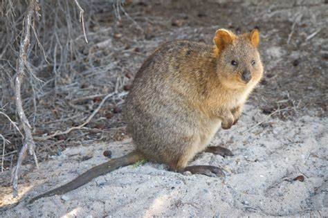 Lucy the Quokka's Inane Comments
