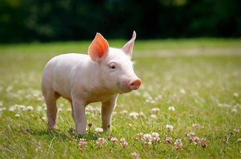 Resultado de imagen de cerdos amor