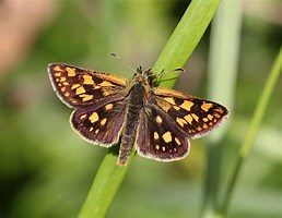 Image result for skipper butterfly