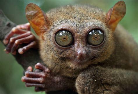 Image result for images of tarsier