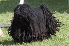 Image result for Puli Puppy. Size: 142 x 95. Source: www.askideas.com