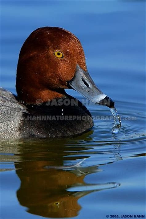 Black duck with red head-ethrafouthe